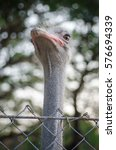 Ostrich In A Cage At The Zoo