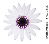 Beautiful Osteospermum Asti White Daisy with purple center isolated on White background. Top view - stock photo