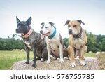 3 Bull Breed Dogs Posing On A...