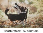 two border collie puppy playing | Shutterstock . vector #576804001