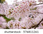 cherry blossom with selective... | Shutterstock . vector #576811261