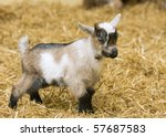 A Baby Goat Standing On Straw...