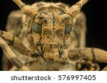 longhorn beetle from malaysia... | Shutterstock . vector #576997405