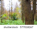 Tree Trunk Of Pine Forest