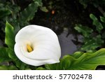 Closeup of Calla lilly with leaves in water.. - stock photo