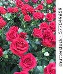 Stock photo rose garden for valentine 577049659