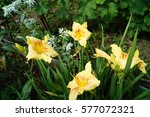 Bush Yellow Daylily