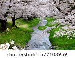 cherry blossoms blooming in... | Shutterstock . vector #577103959
