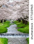 cherry blossoms blooming in... | Shutterstock . vector #577103965