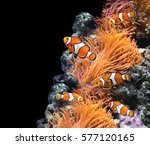 sea anemone and clown fish in... | Shutterstock . vector #577120165
