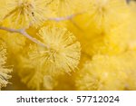 Closeup Of Golden Wattle...