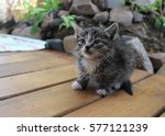 Stock photo tiny gray kitten with a big mustache 577121239