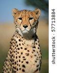Portrait Of A Cheetah  Acinony...