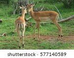 impala nuzzling in the grass | Shutterstock . vector #577140589
