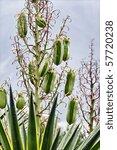 Small photo of Yucca aloifolia marginata, also known as Yucca aloifolia variegata, common names: Aloe Yucca, Daggerplant, Spanish Bayonet, Spanish-Bayonet, Spanish-Dagger, Yucca