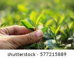 hand pick tea leaves | Shutterstock . vector #577215889