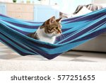 Adorable Cat In Blue Hammock A...