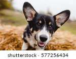 Stock photo dog corgi 577256434