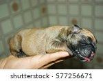 Boxer Newborn