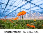 Orange Gerbera Flower On A...