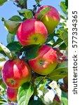 branch of apple   Shutterstock . vector #577334365