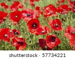 A Field Of Bright Poppies.