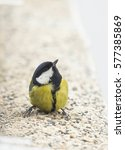 great tit  parus major  sitting ... | Shutterstock . vector #577385869