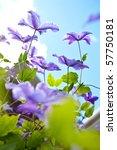 Blooms Of Purple Clematis...