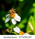 A Close Up Of A Female Bee Wit...