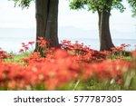 Cluster Amaryllis At Biwa Lake...