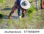 farmer planting rice sprout in... | Shutterstock . vector #577858099