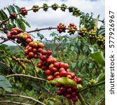 red ripe coffee beans on a tree | Shutterstock . vector #577926967