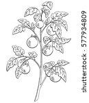 tomato graphic bush black white ... | Shutterstock .eps vector #577934809