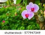 beautiful orchid flowers in the ... | Shutterstock . vector #577947349