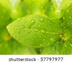 macro photo of a green lemon leaves with water drops - stock photo