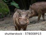 Babirusa  Also Known As Deer...