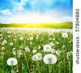 Field Of Dandelions Blue Sky...