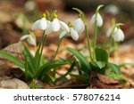 beautiful snowdrops   galanthus ... | Shutterstock . vector #578076214