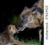 Stock photo mother wolf greeting pup 57819925