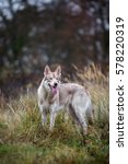 wolfdog in autumn nature | Shutterstock . vector #578220319
