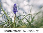Grape Hyacinth Macro Photo