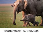 Wild Asian Elephant Mother And...