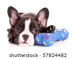 Young Bulldog With Toy Isolate...