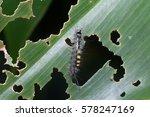 close up macro a gypsy moth... | Shutterstock . vector #578247169