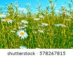 White Bright Daisy Flowers On ...