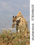 Small photo of Giraffe having bent down it is fed with acacia branches