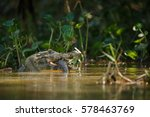 wild caiman with fish in mouth...   Shutterstock . vector #578463769
