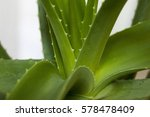 Aloe   South Plant With Thick...
