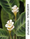 calathea warscewiczii in... | Shutterstock . vector #578518399