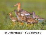 Group Of Redshank  Tringa...